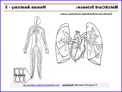 Circulatory System Coloring Sheet Awesome Image Human Circulatory System Coloring Page