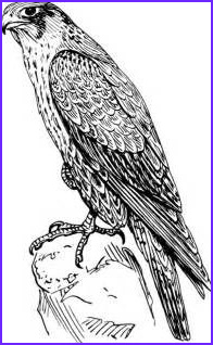 Falcon Coloring Page Luxury Images Falcon Coloring Pages Printable Sketch Coloring Page