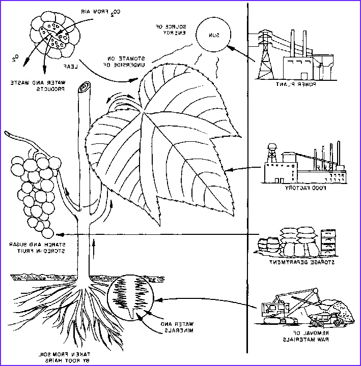 Photosynthesis Coloring Sheet Best Of Photos Synthesis Coloring Page Sketch Coloring Page